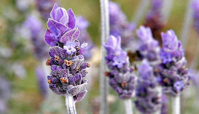 Special Ingredient Saturday – Lavender