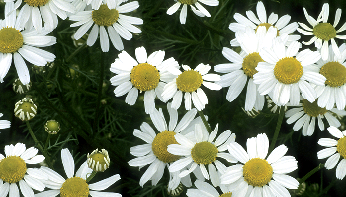 Special Ingredient Saturday – Chamomile
