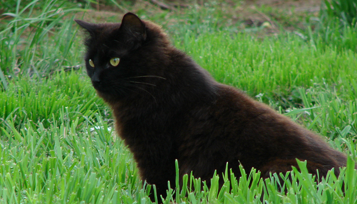 Why has my Black Cat's Coat Turned Red?