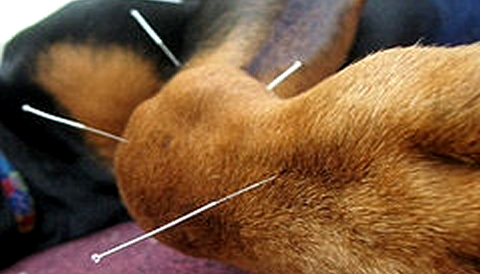 Can Acupuncture Help Eye Disease in my Pet?