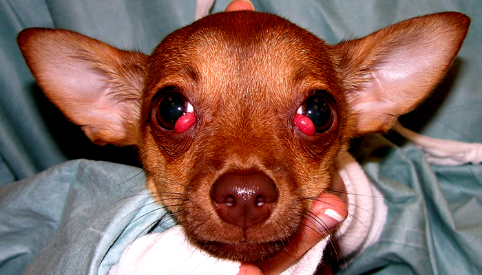 My dog has cherry eye. Do you recommend we operate to remove it.