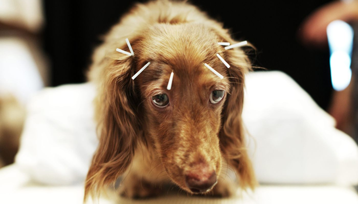 I've heard of acupuncture for pets.  Are there specific conditions it cures or helps?